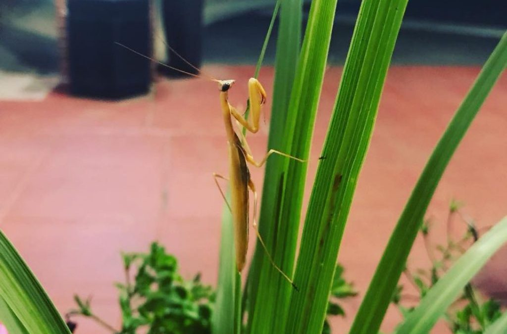 Love for the Praying Mantis – A Life Science Experiment